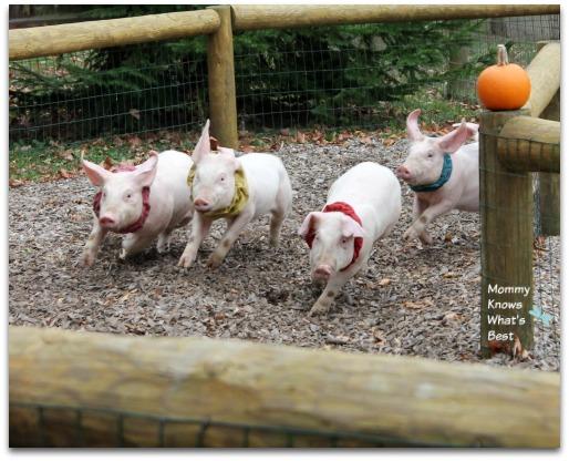 pig races at robas