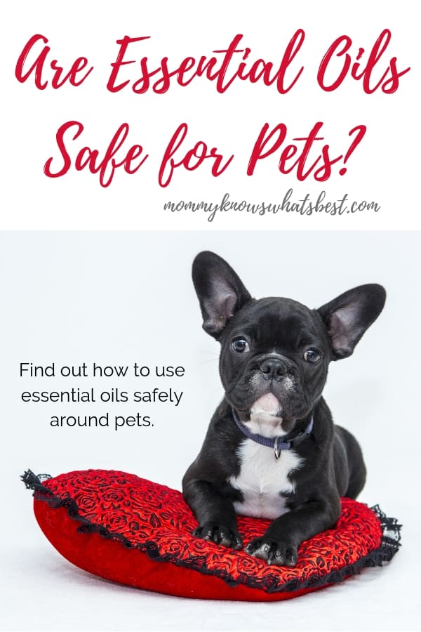 Are Essential Oils Safe for Pets? A Guide For Pet Owners (small dog lying on red pillow)