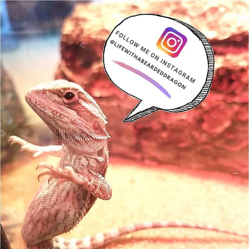 bearded dragon instagram account