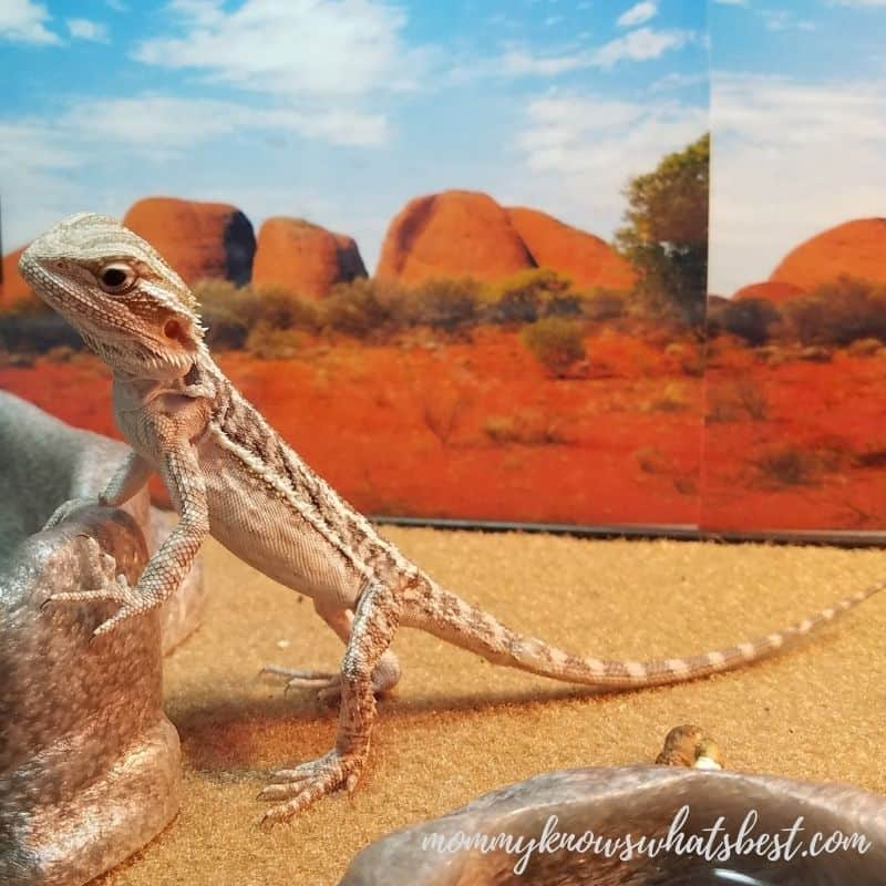 baby bearded dragon in tank by bowl