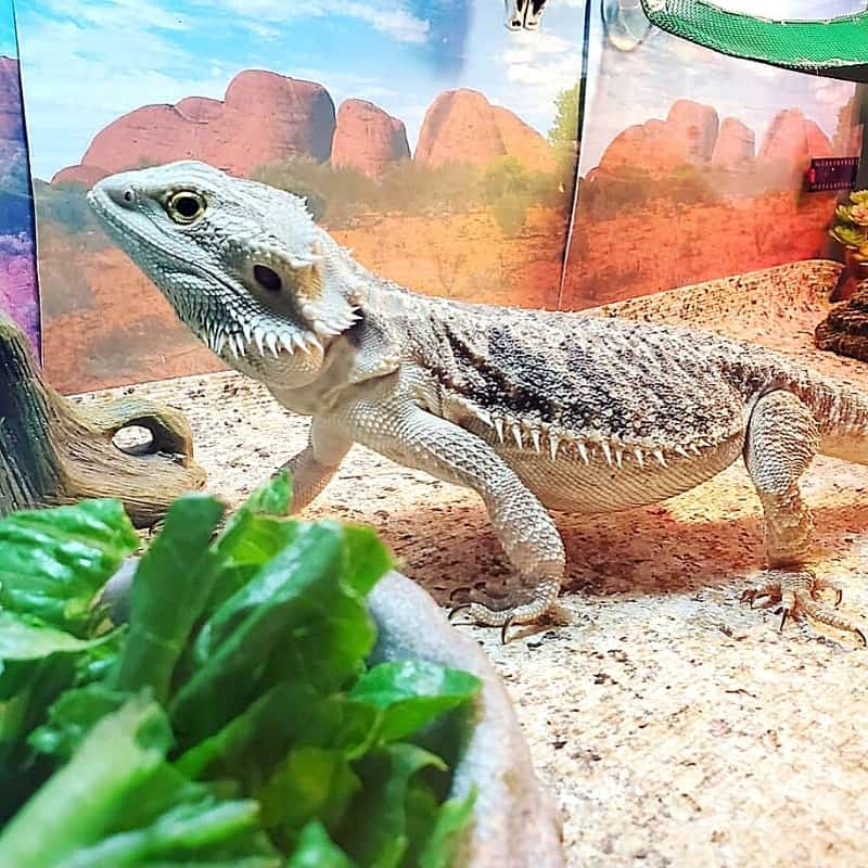 bearded dragon in a tank