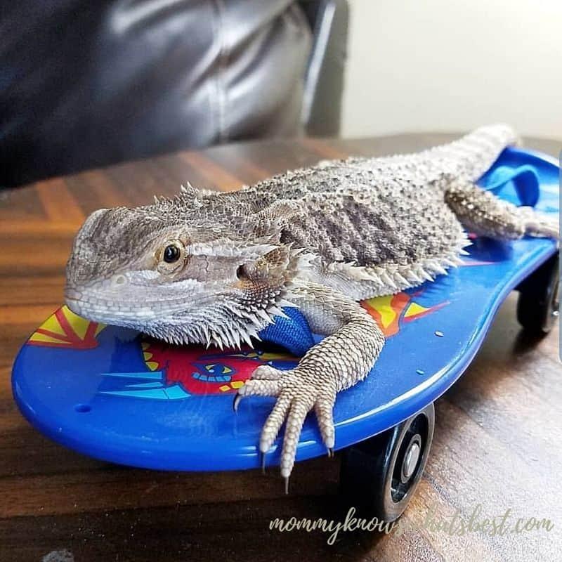 bearded dragon on a skateboard