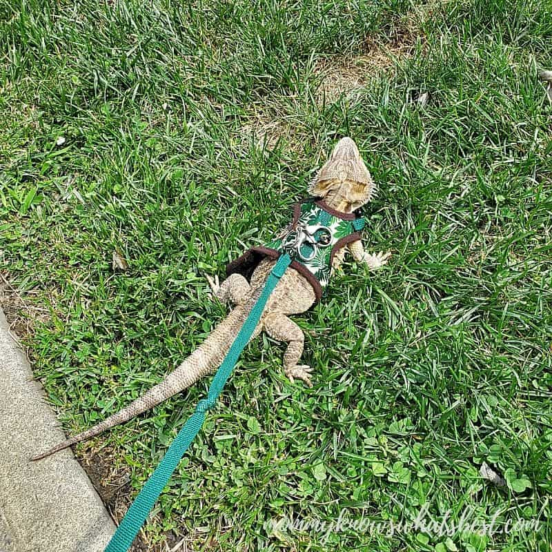 bearded dragon on leash in grass