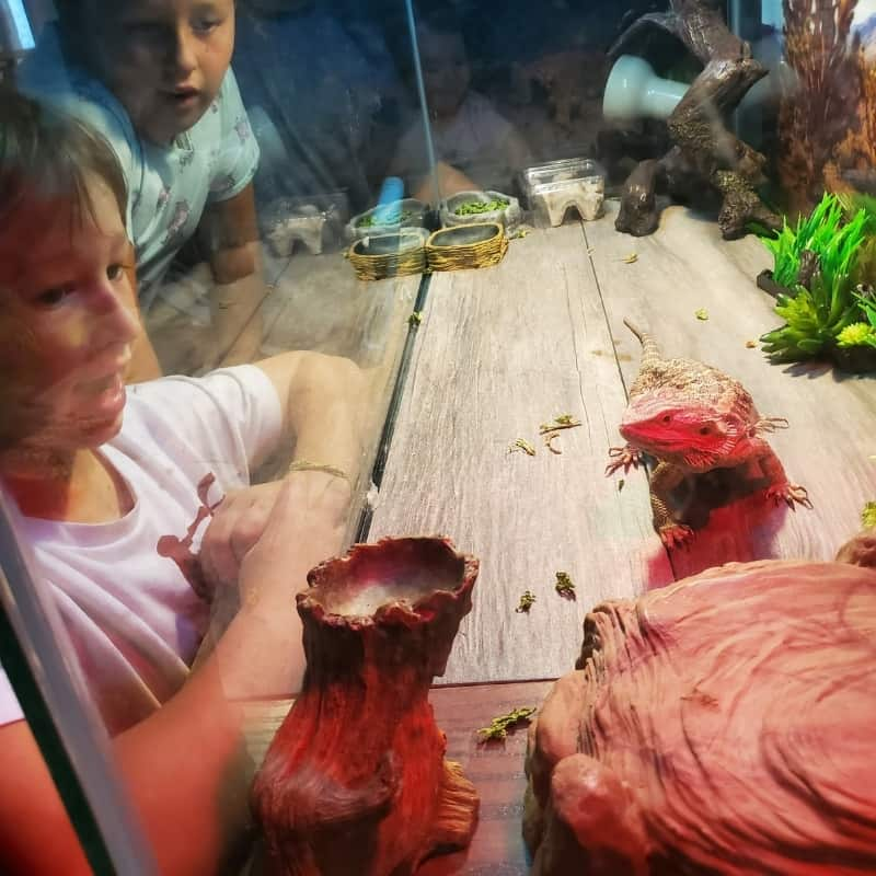 kids looking in bearded dragon tank