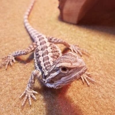 little bearded dragon pet for kids