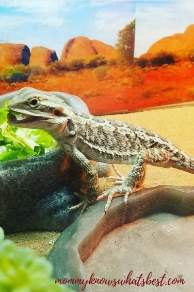little bearded dragon pet in tank