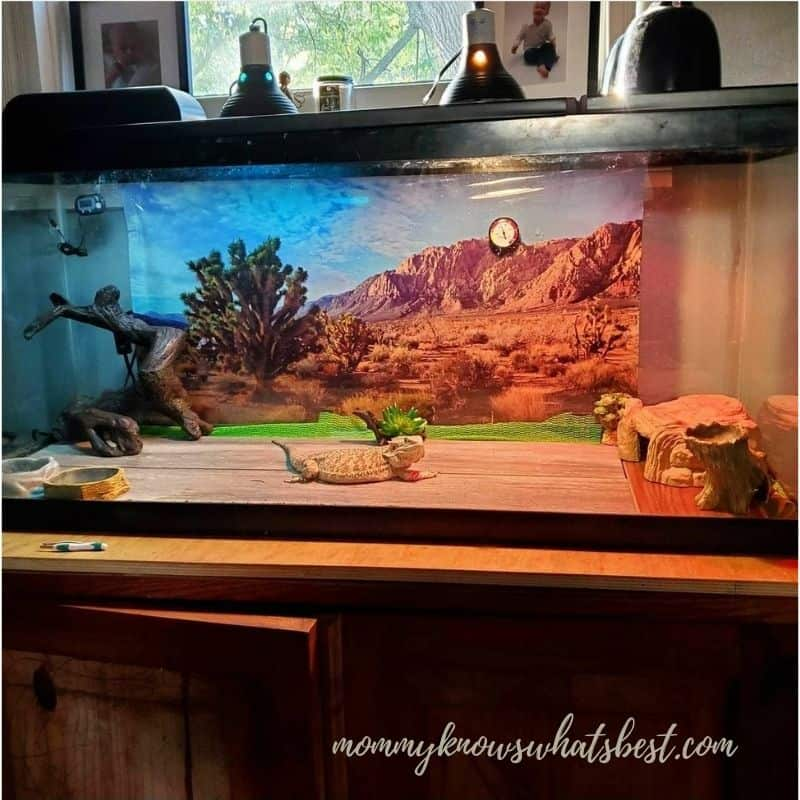 adult bearded dragon in tank