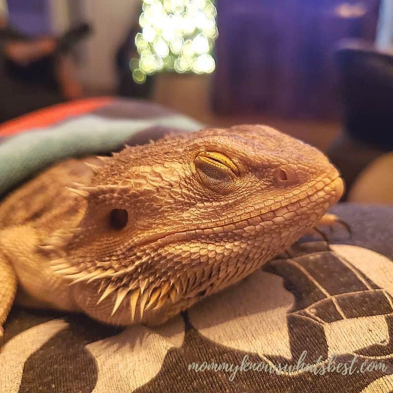 sleeping bearded dragon